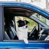 Animali in auto: come trasportarli secondo il Codice della Strada